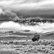 Limited Edition photograph of a lone Bison in  Yellowstone National Park, WY.