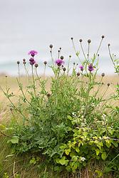 Greater Knapweed growing wild near the coast at the Burren, Ireland. Centaurea scabiosa