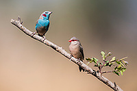 Red-cheecked Cordon-Bleau and  Black-rumped Waxbill, Zakouma National Park, Chad