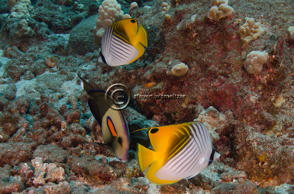 Threadfin Butterflyfish, Chaetodon auriga, Forsskål, 1775, Maui Hawaii