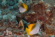 Threadfin Butterflyfish, Chaetodon auriga, Forsskål, 1775, Maui, Hawaii