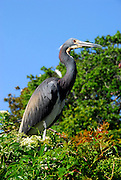 A Tri-Colored Heron looking for a mate  in the rookery on a sunny afternoon.