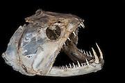 Aimara (Hoplias aimara) skull <br /> Dadanawa Ranch<br /> Cattle Ranch<br /> Savanna <br /> South Rupununi<br /> GUYANA<br /> South America<br /> Once the largest private ranch in the world