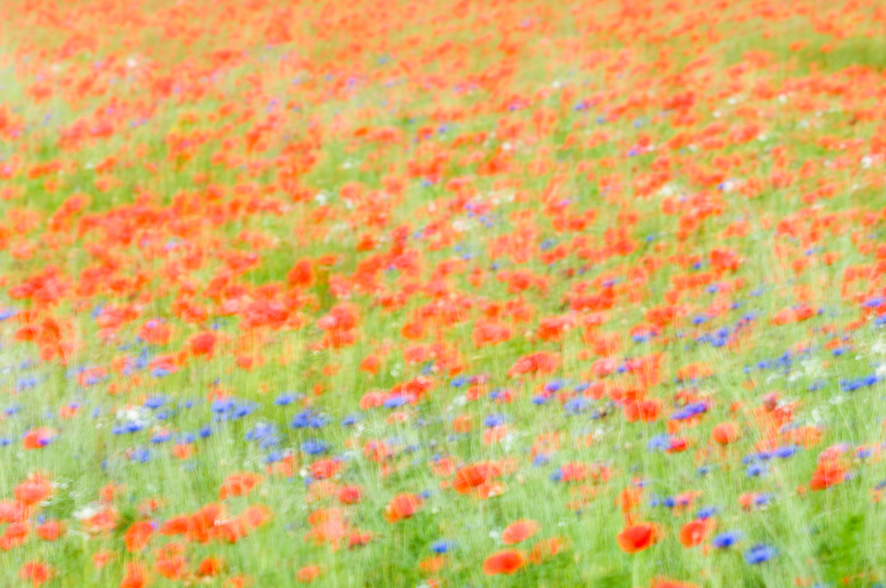 Impression of common poppy and cornflower
