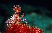 Die Schmuckkrabbe (Hoplophrys oatesii) lebt auf der Weichkoralle (Dendron epthya) | Decorator crab (Hoplophrys oatesii)