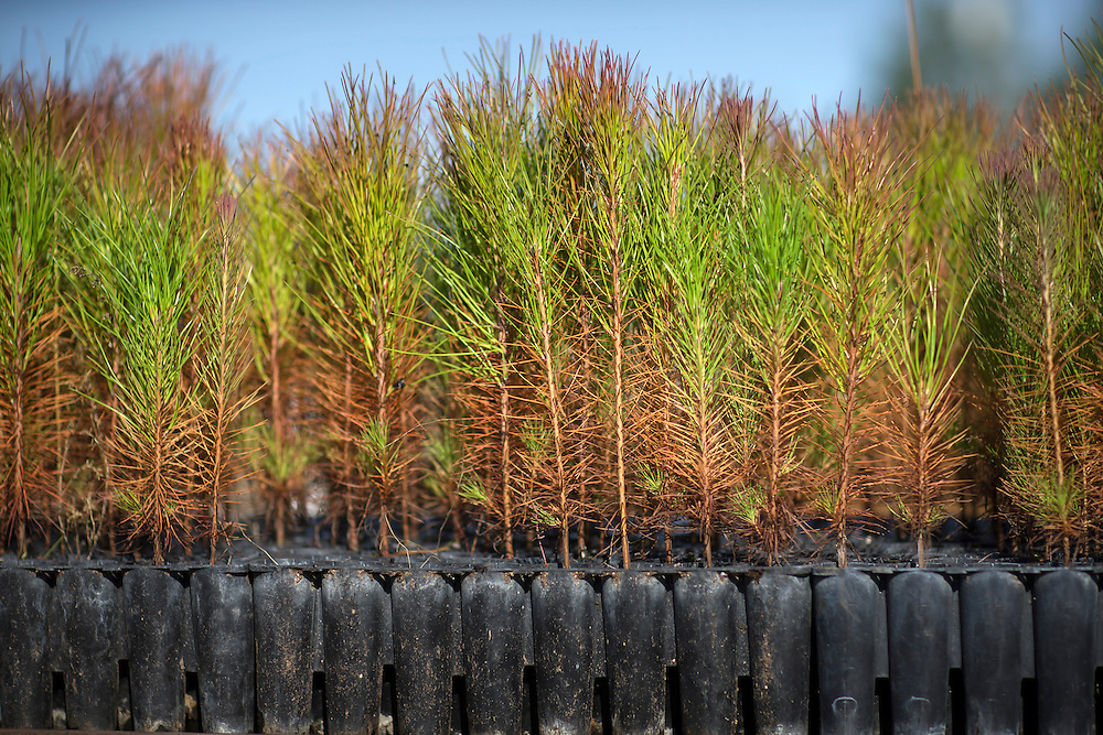 KITE, GA - DEC., 15, 2016: Thomas Meeks of Meeks Farms and Nursery grows slash, loblolly and long leaf pine seedlings, Thursday, December 15, 2016, in Kite, Ga. (Photo by Stephen B. Morton for Georgia Forestry Magazine)