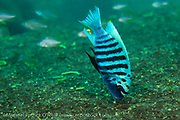 A male Metriaclima sp. Zebra Cichlid grazes on algae, known as aufwuchs, that grows on rocks in Lake Malawi, Malawi, Africa