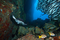 Schooling Jordan's Snappers and Marbled Ray in Submerged Arch