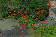Scarlet Ibis (Eudocimus ruber)<br /> Shell Beach<br /> North GUYANA<br /> South America