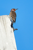Northern Flicker (Colaptes auratus) - yellow shafted, Broad Cove, Nova Scotia, Canada,