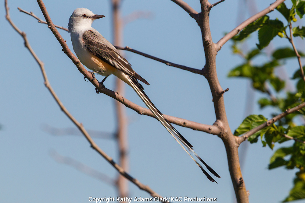 Scissor-tailed flycatcher; Austin; Hornsby Bend; Spring.; Texas; Tyrannus forficatus; Waste Water Treatment Plant