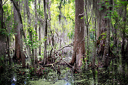02 June 2014. Jean Lafitte National Historic Park, Louisiana.<br /> The cypress rich Barataria Preserve wetlands south or New Orleans.<br /> Charlie Varley/varleypix.com