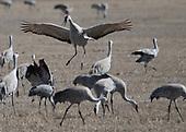 Monte Vista Festival of Cranes
