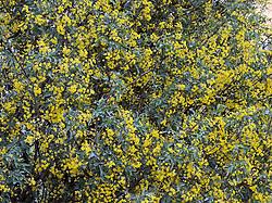 Flowering Holy bush