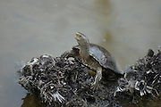Israel, Hula lake, European pond terrapin AKA European pond turtle or European pond tortoise (Emys orbicularis)