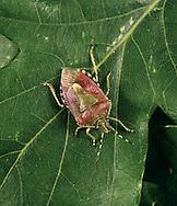 Sloe Shield Bug - Dolycoris baccarum
