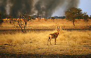 Savanna fire in Zakouma National Park with hartebeest antelope (Alcelaphus sp.), in foreground, Chad, Africa.
