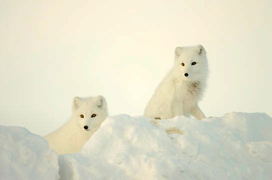 Arctic Fox (Alopex lagopus) Pair along the ice edge of Hudson Bay, Cape Churchill, near Churchill, Manitoba, Canada. November