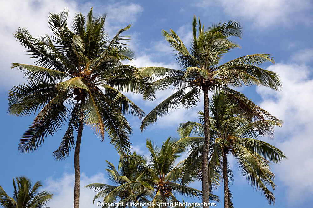 HI00357-00...HAWAI'I - Coconut trees (Cococ nucifea) on the island of Hawai'i.