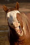 XNMA03  WILD HORSE  (Equus ferus)  White Sands herd, rainbow, Cheyenne River Sioux Reservation, SD