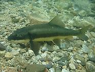 Largescale Sucker, Underwater