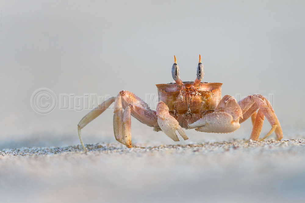 The Galapagos Ghost Crab is easily scared by movements. They seem to have an excellent 360 sight, and runs very fast to hide in there holes in the sand | Vinkekrabben på Galapagos er med sin fantastiske 360 synsvidde, veldig var for den minste bevegelse. Da løper den lynkjapt og gjemmer seg i sine små hull i sanden.