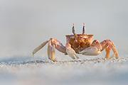 The Galapagos Ghost Crab is easily scared by movements. They seem to have an excellent 360 sight, and runs very fast to hide in there holes in the sand   Vinkekrabben på Galapagos er med sin fantastiske 360 synsvidde, veldig var for den minste bevegelse. Da løper den lynkjapt og gjemmer seg i sine små hull i sanden.