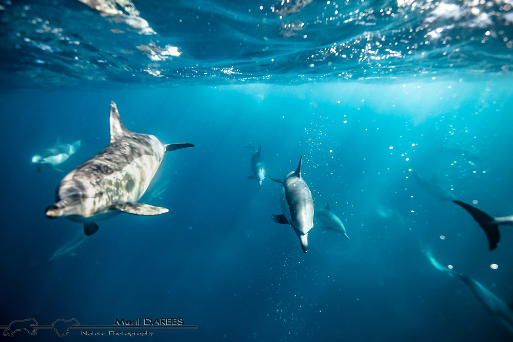 Common dolphins, South Africa