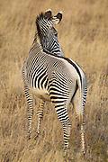 Grevy&iacute;s Zebra<br /> Equus grevyi<br /> Lewa Wildlife Conservancy, Kenya