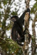 Edwards-Sifaka (Propithecus edwardsi), Ranomafana, Madagaskar<br /> <br /> Milne-Edwards' sifaka (Propithecus edwardsi), Ranomafana, Madagascar