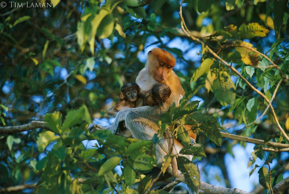A female proboscis monkey with her twin babies. Proboscis twins are rare..Menanggul River, Lower Kinabatangan Wildlife Sanctuary, Borneo Island.