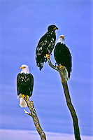 Bald Eagles (Haliaeetus leucocephalus).  Two mature Bald Eagles with dark brown bodies with white heads and tails.  The immature eagle will take 3-4 years to develope a white head and tail.   Near Homer, Alaska.