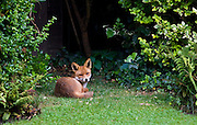Urban male fox lies confidently in London town garden, Hampstead, London, England