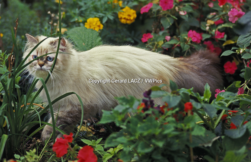 Colourpoint Persian Domestic Cat, Adult among Flowers