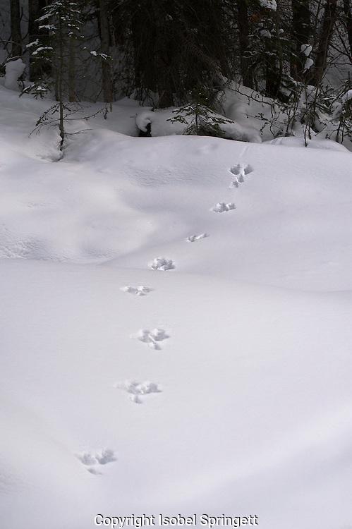 Snow-shoe Hare tracks, Yoho Nat'l Park.