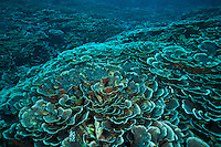 Large colonies of fragile hard corals, Maratua, Kalimantan, Indonesia.
