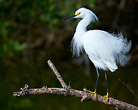 Snowy Egret on a Branch. Along Biolab Road at Merritt Island National Wildlife Refuge in Florida. Image taken with a Nikon Df camera and 300 mm f/4 lens (ISO 100, 300 mm, f/4, 1/1250 sec).
