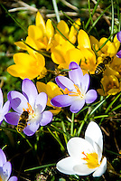 Switzerland. Springtime. Close-up of yellow, white/violet, crocusses being visited by a bee.
