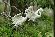 Great Egret Chicks Testing their Wings
