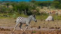 Zebras, Nxai Pan National Park, Botswana.
