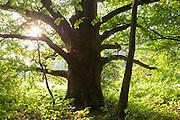 alte Eiche am Schlosspark Schloss Fürstenau, Steinbach, Michelstadt, Odenwald, Naturpark Bergstraße-Odenwald, Hessen, Deutschland | old oak tree, Steinbach, Michelstadt, Odenwald, Hesse, Germany