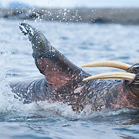 Norway, Svalbard, Nordaustlandet, Adult Walrus (Odobenus rosmarus) splashing in shallow sea along on Lagøya Island