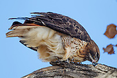 RED-TAILED HAWK: EATING, STROPPING BEAK