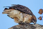 RED-TAILED HAWK: EATING, STROPPING BEAK