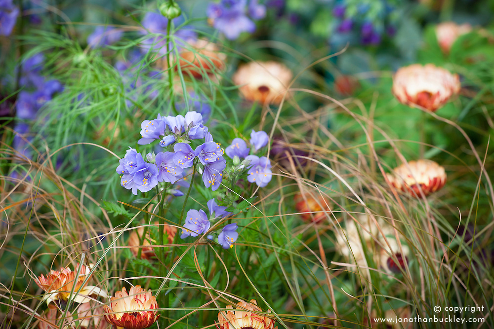 Polemonium yezoense var. hidakanum Bressingham Purple = 'Polbress' with Calendula officinalis 'Sherbet Fizz'<br /> (English Marigold, Pot Marigold) and Carex testacea