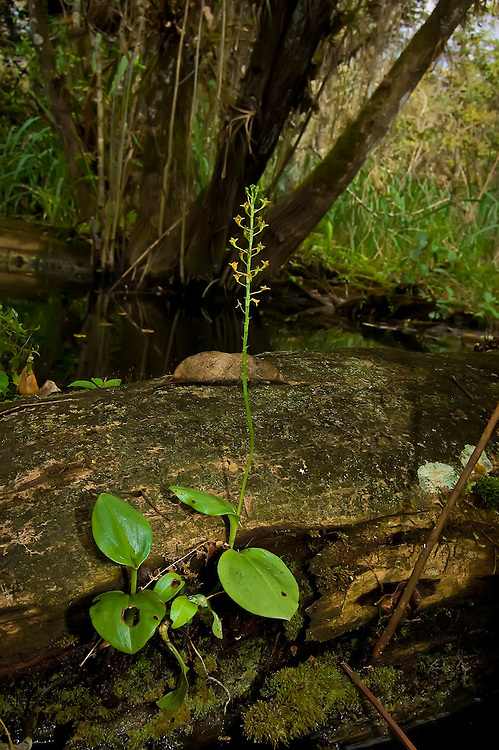 This is a particularly large Florida adder's mouth orchid found in the Fakahatchee Strand - about 12 inches high. Generally they are in the 4 to 8-inch range.