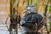 Wood Duck, Aix sponsa, female, Lake County, Ohio