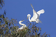 Great Egret <br /> Ardea alba<br /> Adults passing off nesting material<br /> Sonoma County, California