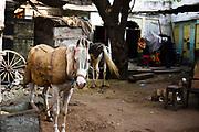 Paard, Jaipur