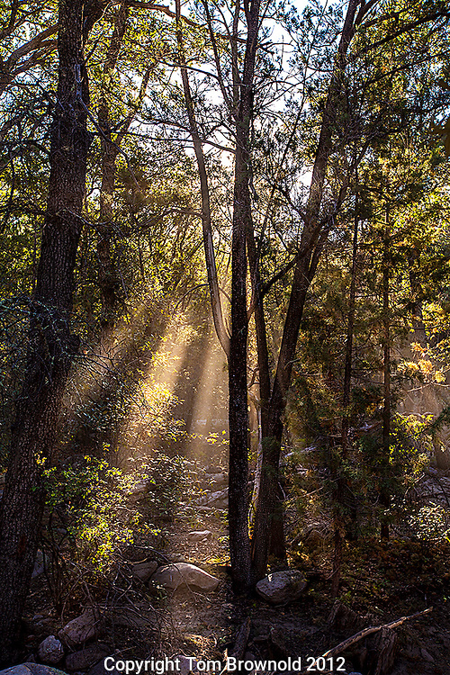Morning light beams in the forest